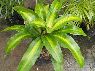 cornstalk dracaena, one of the top air-purifying plants